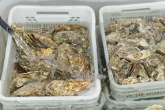 Oysters in baskets with fresh water on the market Stock Photo
