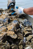 Oysters. Being Harvested from the Chesapeake Bay Stock Photos