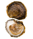 Oysters Belon Stock Images