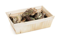 Oysters box Stock Image