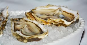 Oysters in brown hues and ice, close up Royalty Free Stock Images