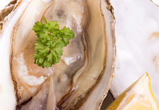 Oysters close-up as a background. Stock Photo