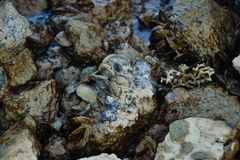 Oysters. Covered rock at coast Stock Photos