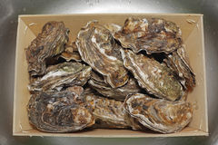 Oysters in Crate Royalty Free Stock Photo