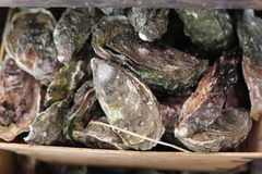 Oysters for Eating Royalty Free Stock Photos
