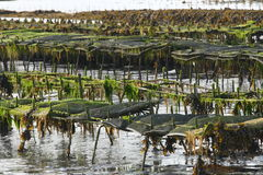 Oysters farm at low water tide. Backs with growing oysters at low water in oyster farm. Village Saint Jacut de la Mer in french Brittany stock images
