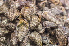 Oysters in fish market on the counter. Stock Photos