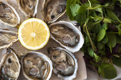 Oysters. Fresh French appetizer oysters on ice with lemon, for gourmets Stock Photo