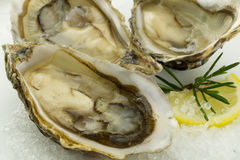 Oysters. Fresh oysters with lemon on ice Stock Image