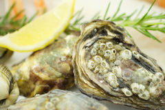 Oysters. Fresh oysters with lemon on ice Royalty Free Stock Images
