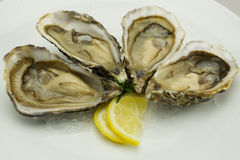 Oysters. Fresh oysters with lemon on ice Stock Photography