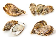 Oysters. Fresh Oysters  on the white background Stock Images