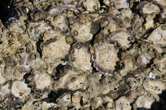 Oysters growing on a rock Stock Photos