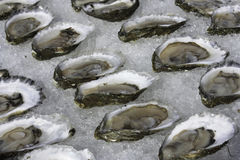Oysters on the half shell, Wellfleet MA royalty free stock photography