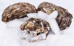 Oysters on ice Royalty Free Stock Images