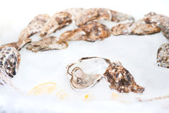 Oysters on ice Royalty Free Stock Image