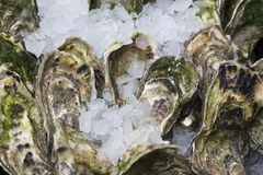 Oysters on ice Stock Image