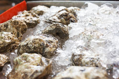 Oysters on ice Royalty Free Stock Photo