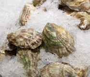 Oysters on ice for sale. Closed oysters on ice for sale at chelsea market, New York Stock Images