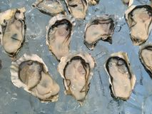 Oysters on ice. The oysters on ice in the seafood buffet line Stock Images