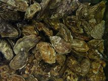 Oysters lie in clean water. View from above Asymmetric sink of irregular shape stock images