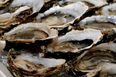 Oysters on plate. close-up. fresh seafood, shellfish. Oysters in ice ready for use. close-up. fresh seafood, shellfish Stock Photos
