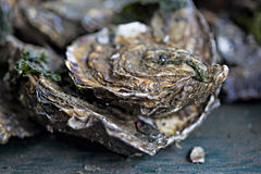 Oysters. Raw oysters on the farm Stock Images
