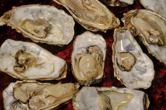 Oysters raw recognized  red background Stock Photos