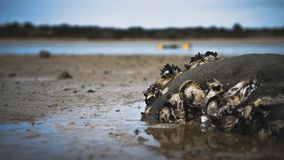 Oysters on a rock at low tide royalty free stock photo
