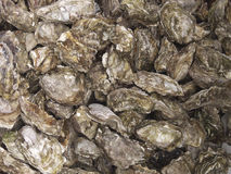 Oysters for sale sea food Stock Image