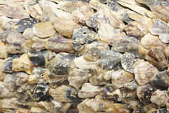 Oysters Shell Royalty Free Stock Image