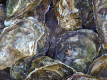 Oysters In The Shell Stock Image