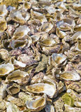 Oysters shells. On the ground stock images