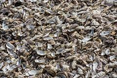 Oysters shells at fish market royalty free stock image
