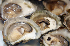 Oysters. The table covered with crowd of big fresh oysters Stock Images