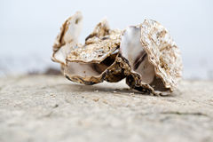 Oysters together Royalty Free Stock Images