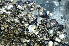 Oysters on the wall Royalty Free Stock Photos