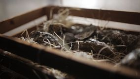 Oysters in a wooden box with hay. Fish restaurant stock video footage