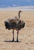 Oystrich en Ngorongoro N.P. fotografía de archivo