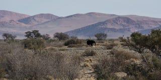 Oystrich w pustyni Obraz Royalty Free