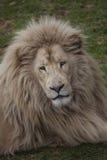 从Oz的狮子 免版税库存图片