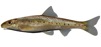 Ozark Chub. Fish on white background file Royalty Free Stock Image