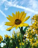 Ozark Sunflower (Helianthussilphiodes) royaltyfri fotografi