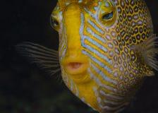 Ozdobny Cowfish (samiec) zdjęcie royalty free