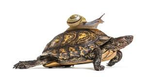 Ozdobny lub malujący drewniany żółw, Rhinoclemmys pulcherrima zdjęcie stock