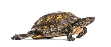 Ozdobny lub malujący drewniany żółw, Rhinoclemmys pulcherrima obraz stock