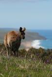 Ozean-Ansicht-Känguru Stockfotos