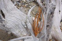 Ozean gebleichter Live Oak Stumps mit Seeanlage Lizenzfreie Stockfotografie