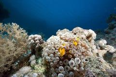 Ozean-, Korallen- und Luftblasenanemone Stockfotos