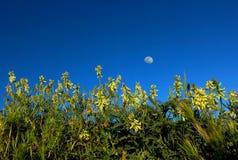 Ozean Locoweed und der Mond stockfotos